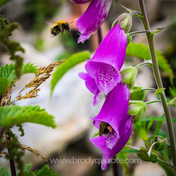 Photograph of two bees collecting honey from a foxglove.